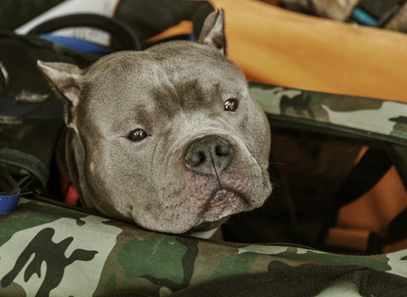 A charming gray pit bull bull terrier sits in a basket at a dog show. Portrait of Pete Bull Terrier attentively looking into the camera.