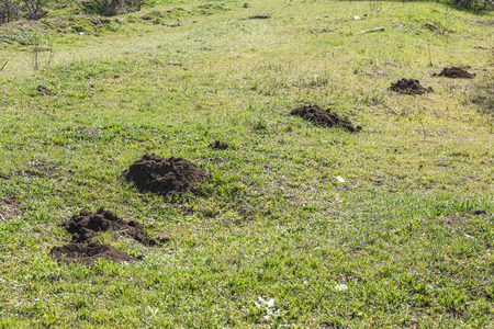 Molehills. Damaged lawn it is result of European Mole activity. This pest is also known as Talpa Europaea. Copy space for text Imagens