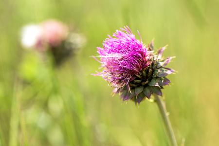 Pink thistle flowers in wild (herbal medicine Silybum marianum, milk thistle, Cardus marianus, Mediterranean milk cardus marianus). Floral blue-violet background. Pink spiny flower. Close-up. Nature 免版税图像