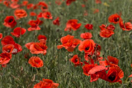 Blumen Rote Mohnblumen blühen im wilden Feld. Schöne Feldrote Mohnblumen mit selektivem Fokus, weiches Licht. Natürliche Drogen - Schlafmohn. Lichtung roter Wildblumen