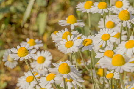 Bloom. Chamomile. Blooming chamomile field, chamomile flowers on  meadow in summer, selective focus, blur. Beautiful nature scene with blooming medical daisies on sun day. Beautiful meadow background 免版税图像