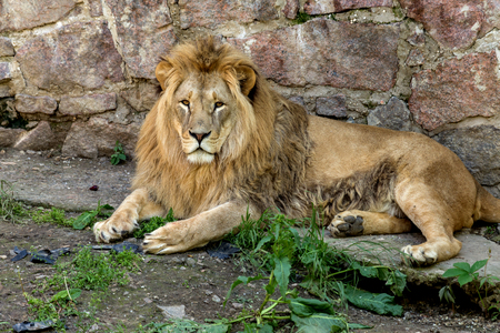Big African lion lies in the zoo aviary. Lion sunbathing and posing for the audience at the zoo