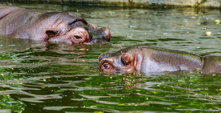 Ordinary hippopotamus in the water of the pool of the zoo aviary. The African herbivore aquatic mammals hippopotamus spends most of its time in the water of the nose and eyes