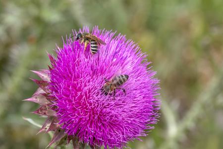 Beautiful flower of purple thistle. Pink flowers of burdock. Burdock thorny flower close-up. Flowering thistle or milk thistle. Herbaceous plants
