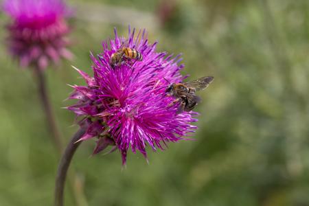 Bellissimo fiore di cardo viola. Bardana fiore rosa. Bardana fiore spinoso da vicino. Le piante medicinali da fiore sono cardo o cardo mariano. Pianta del cardo mariano. Messa a fuoco selettiva morbida non profonda