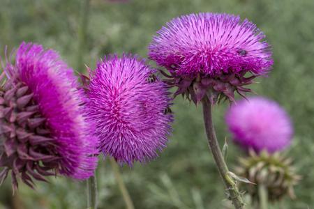 Beautiful purple thistle flower. Pink flower burdock. Burdock flower spiny close up. Flowering medicinal plants are thistle or milk thistle. Milk Thistle plant. Soft selective not deep focus Banco de Imagens - 126087095