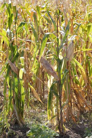 The corn field has dried out after a long period of heat due to climate change - the effects of global warming on agriculture. Bad harvest of corn suffers from drought. Bad crop corn Stock fotó