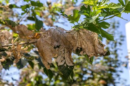 Caterpillars made cocoons on tree. Caterpillars ate all leaves in tree and twined branches of web in cocoon. Caterpillar of butterfly in cocoon on branches of perishing tree. Agricultural Pests Foto de archivo