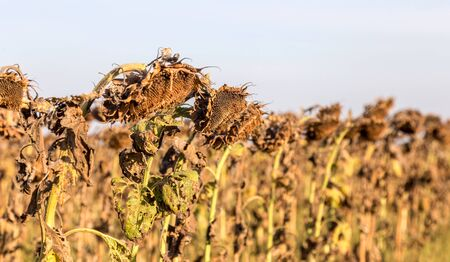 Withered sunflowers in the autumn field. Mature dry sunflowers are ready for harvest. Bad harvest of sunflower on the field. Blackened unclean abandoned bad harvest in an autumn field