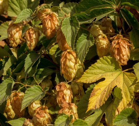 Bunch of ripe hops on vine with leaves grown for making beer. Close up of hop cones on vine ready to be harvested. Green environment with brownish branches. Plantation of ripe flowers of beer hops 版權商用圖片