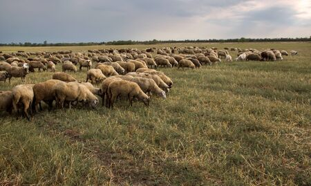 Flock of sheep grazes in nature. Countryside, agriculture. Natural rustic background. Pet walk. Selective focus. Beautiful animals grazing on pasture in countryside Stok Fotoğraf