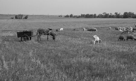 Flock of sheep grazes in nature. Countryside, agriculture. Natural rustic background. Pet walk. Selective focus. Beautiful animals grazing on pasture in countryside