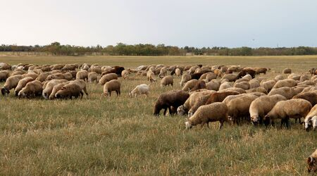 Flock of sheep grazes in nature. Countryside, agriculture. Natural rustic background. Pet walk. Selective focus. Beautiful animals grazing on pasture in countryside Stock fotó
