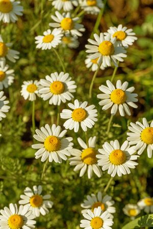 Bloom. Chamomile. Blooming chamomile field, chamomile flowers on meadow in summer, selective focus, blur. Beautiful nature scene with blooming medical daisies on sun day. Beautiful meadow background Archivio Fotografico