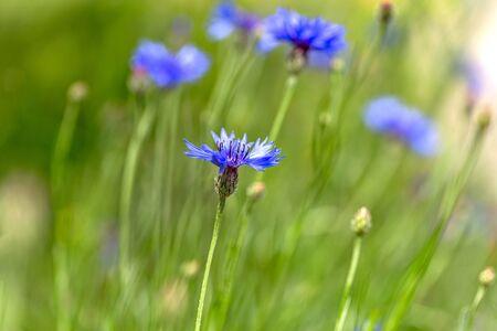 Blue cornflowers in the field. Beautiful wildflowers - blue cornflowers for cards, calendars, advertising banners. Summer rural landscape. Ð¡orn flowers Reklamní fotografie