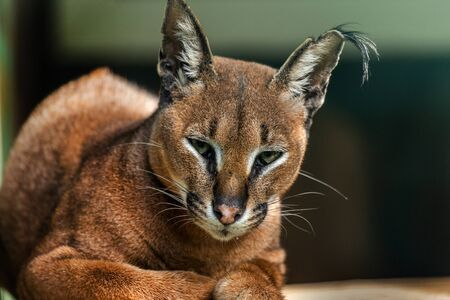 Ð¡aracal is a medium-sized wild cat native to Africa, Middle East, Central Asia and India. Wild cat Caracal in one of african nature reserves before feeding.
