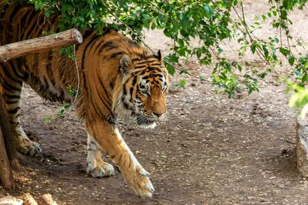 Siberian tiger (Panthera tigris tigris) is also called the Amur tiger (Panthera tigris altaica) in the aviary of the zoo. Dangerous mammal is a predatory animal in the taiga. Big wild cat Фото со стока