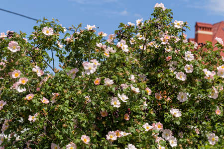 Large bush of wild rose, rose hips during blooming pink flowers. Summer flower background Foto de archivo - 152357416