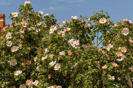 Large bush of wild rose, rose hips during blooming pink flowers. Summer flower background