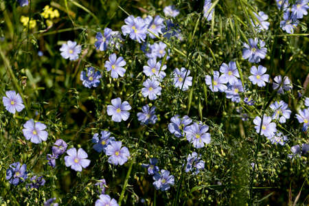 Bright delicate blue flower of decorative flax flower and its shoot on grassy background. Creative processing Flax flowers. Agricultural field of industrial flax in stage of active flowering in summer Standard-Bild