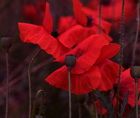 Flowers Red poppies bloom in a wild field. Beautiful field of red poppies with selective focus and color. Soft light. A glade of red poppies. Toning. Fashionable Creative Processing in Dark Low Key Standard-Bild
