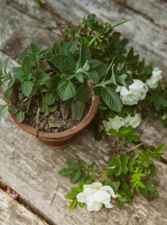 A pot of mint, next to it lies a branch of a wild rose on a wooden background