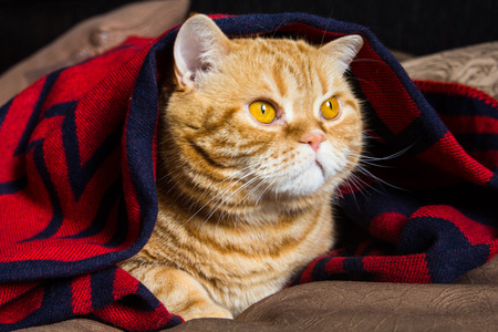 ginger cat lying under a blanket with tassels Stock Photo