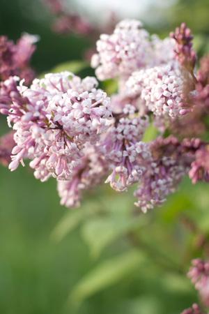 lavender coloured: Lilac branch close-up