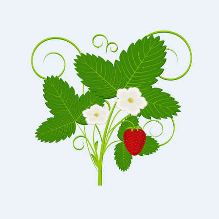 Bush with flowers, leaves and strawberry berries, isolated on a white background Ilustrace