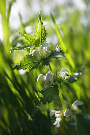 in bloom: Nettle bloom Stock Photo