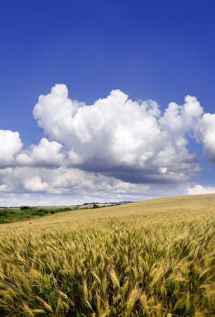 agrarian: Agrarian field in the summer day