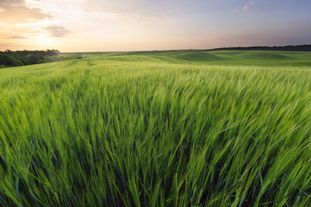agrarian: Agrarian field in summer