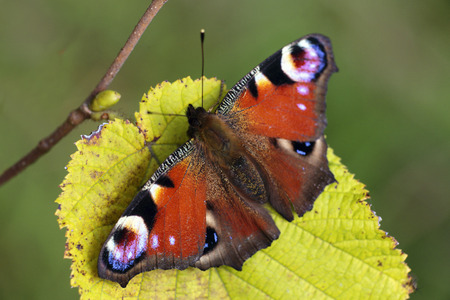 peacock butterfly: Peacock butterfly on a leaf Stock Photo