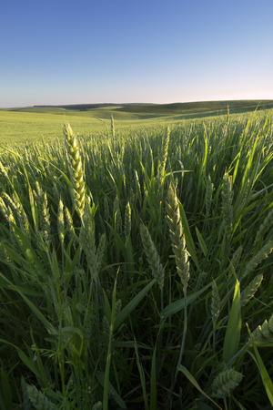 agrarian: Summer morning in the agrarian field