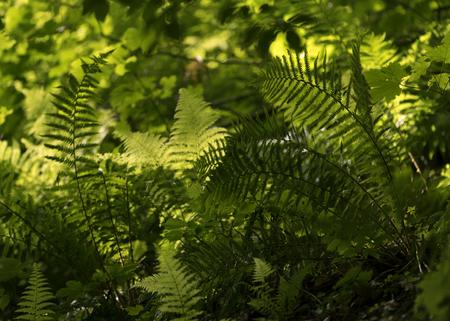 bracken: The bracken in the forest