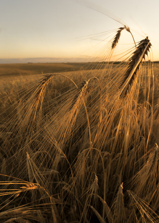agrarian: Agrarian field in the summer evening.