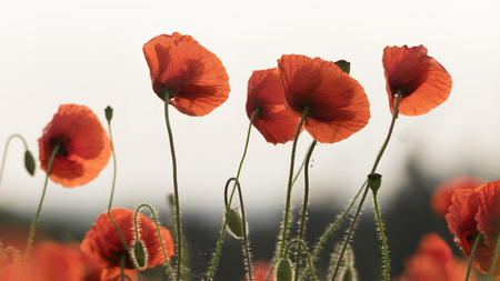 Poppies on the forest background in the morning 写真素材