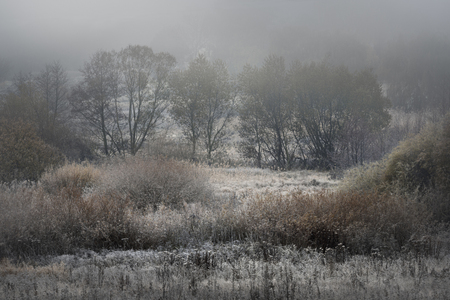 willows: Frost-covered willows in the fog on a cold autumn dawn