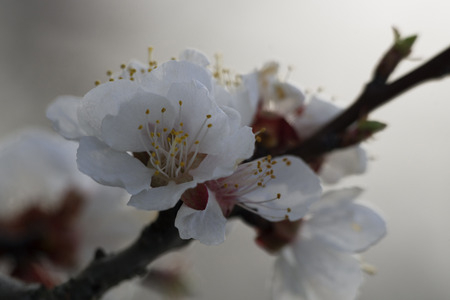 apricot tree: Apricot Tree Growing In The Home Garden Stock Photo