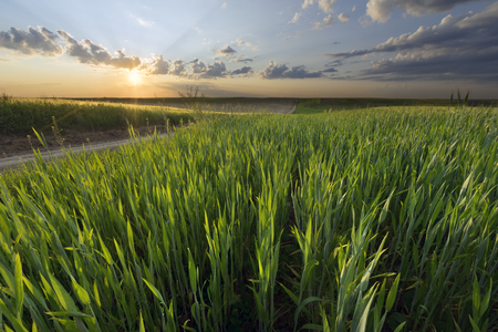 Wheat field in spring with beautiful sky and clouds Stock Photo