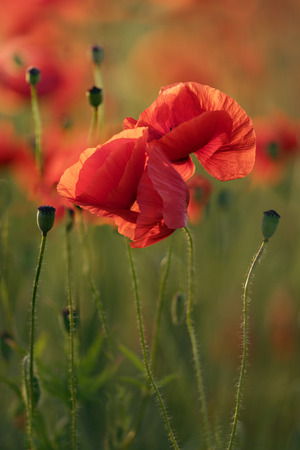 poppy seeds: Red Poppy Flowers In Field At Sunrise