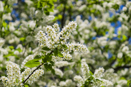 yellow stamens: Bird cherry blossom with white petals and yellow stamens
