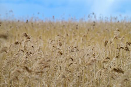 Reed grass field background under blue sky photo