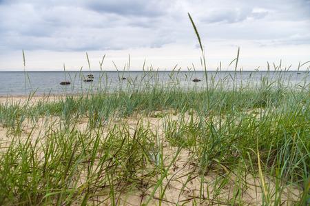 aquatic herb: Sedge grass on sandy beach of Baltic sea