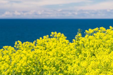青い海と空に対してぼやけ芽吹いてキャノーラの背景