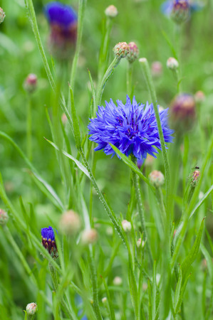 centaurea: Blue cornflower (Centaurea cyanus) growing in a field, narrow depth of sharpness