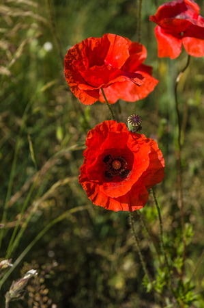 papaver rhoeas: Red poppy flowers (Papaver rhoeas) on the green field in the sunlight