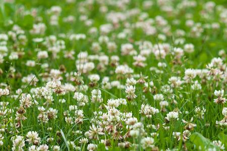 trefoil: White clover (trefoil) flowers field, narrow depth Stock Photo