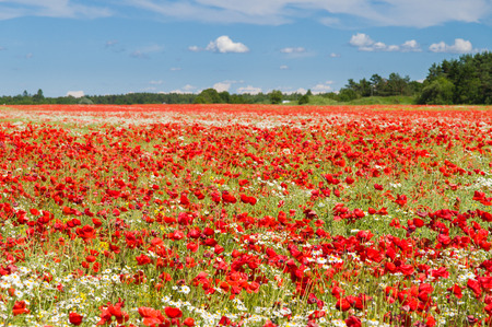 flowers field: Poppy flowers field under blue sky