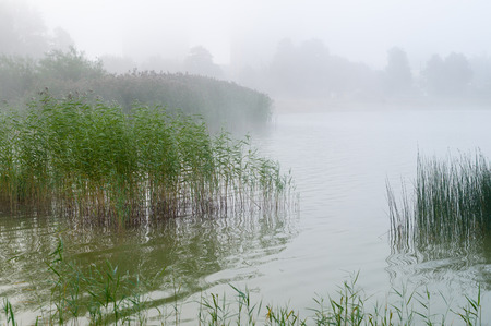 thicket: Reed and sedge thicket on the lake, misty morning background